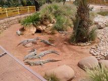 un parque del cocodrilo en Agadir Morroco Imagen de archivo libre de regalías
