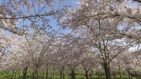 Un parque mágico de la flor de cerezo almacen de video