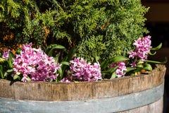 Un parterre avec la jacinthe Image libre de droits