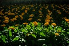 Un parterre des fleurs jaunes photo stock