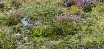 Un pascolo alpino Fotografia Stock Libera da Diritti