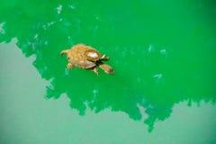 Un paseo de la tortuga del bebé en parte posterior de s de una madre 'en agua de mar verde Imágenes de archivo libres de regalías