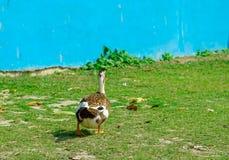 Un paseo de los patos en la hierba Pato silvestre Duck Drake fotos de archivo libres de regalías