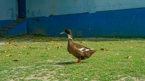 un paseo de los patos en la hierba Pato silvestre Duck Drake vista lateral amplia imagenes de archivo