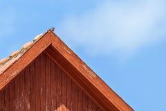 Un passant rare de moineau d'arbre Photographie stock libre de droits