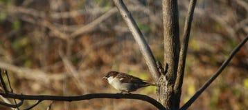 Un passero Fotografia Stock