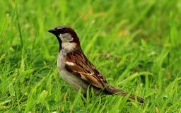 Un passero Fotografie Stock