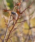 Un passero ad un albero del cachi Fotografie Stock Libere da Diritti