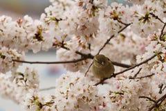 Un passero che si siede su un ramo di fioritura del ciliegio Fotografie Stock