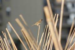 Un passero che sta sul quindi fotografia stock libera da diritti