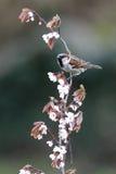 Un passero maschio. Fotografia Stock
