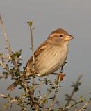 Un passero spagnolo femminile immagini stock