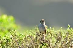 Un passero sul ramo fotografie stock
