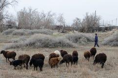Un pastor reúne ovejas imagen de archivo libre de regalías