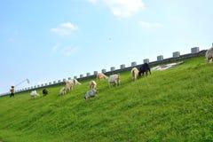 un pastor y una oveja Imagen de archivo