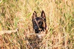 Un pastore belga nell'erba alta fotografie stock