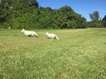 Un pastore bianco adulto Dog ed il suo gioco del cucciolo Immagini Stock Libere da Diritti