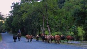 Un pastore guida un gregge delle mucche lungo una strada rurale fotografia stock libera da diritti