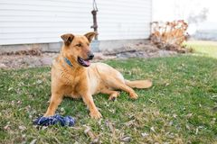 Un pastore tedesco Farm Dog fotografie stock