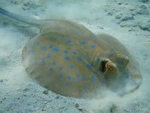 Un patín marina Imágenes de archivo libres de regalías