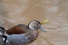 Un pato anillado del trullo que se sienta en el banco Imagenes de archivo