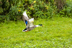 Un pato asustado que se va volando Foto de archivo libre de regalías