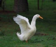 Un pato blanco. imagen de archivo