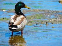 Un pato brillante Fotos de archivo