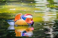 Un pato colorido en agua Fotografía de archivo libre de regalías