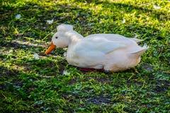 Un pato con cresta blanco en Orlando, la Florida foto de archivo