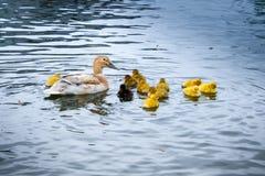 Un pato con los pequeños polluelos amarillos Foto de archivo libre de regalías