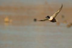 Un pato cuchara masculino en vuelo foto de archivo libre de regalías