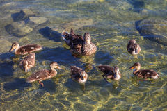 Un pato de la madre con sus anadones Imagen de archivo libre de regalías