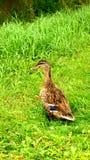 Un pato de la madre que vigila Fotografía de archivo