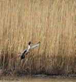 Un pato del pato rojizo septentrional toma vuelo foto de archivo