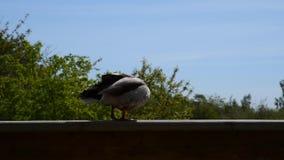 Un pato del pato silvestre le gusta permanecer en la cerca almacen de metraje de vídeo