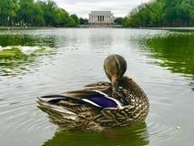 Un pato dulce que se relaja en la piscina de reflejo en Washington, D C Fotografía de archivo