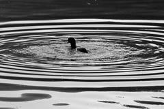 Un pato en agua con agua concéntrica ondula rodeándola Imágenes de archivo libres de regalías
