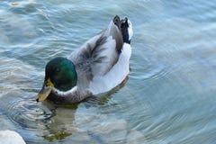 Un pato en el lago Imagen de archivo libre de regalías