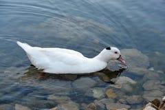 Un pato en el lago Imágenes de archivo libres de regalías