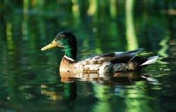 Un pato en el verde imagen de archivo libre de regalías