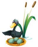Un pato en la charca al lado de sus huevos Fotografía de archivo