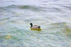 Un pato en un lago Foto de archivo