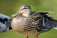 Un pato en un lago local Imagen de archivo libre de regalías