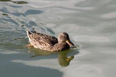 Un pato en una charca de agua verde Foto de archivo libre de regalías