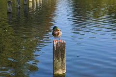 Un pato encaramado en posts de madera imagenes de archivo