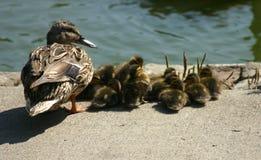 Un pato femenino del pato silvestre y sus anadones Foto de archivo libre de regalías