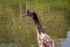 Un pato indio del corredor fotografía de archivo