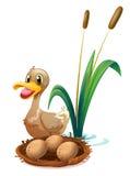 Un pato marrón cerca de la jerarquía Imagen de archivo libre de regalías