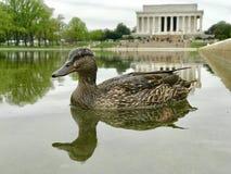 Un pato muestra apagado delante de mi cámara en piscina de la reflexión en el Lincoln memorial Foto de archivo libre de regalías